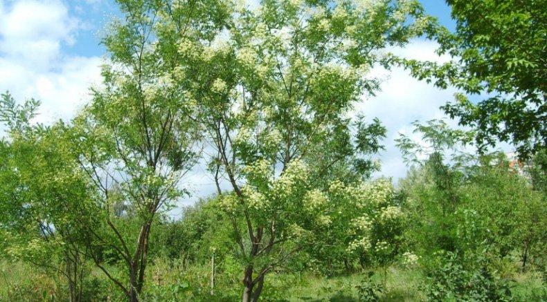 Дерево японская софора