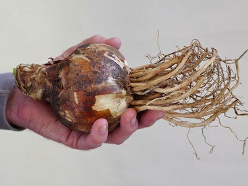 Луковица амариллиса белладонны