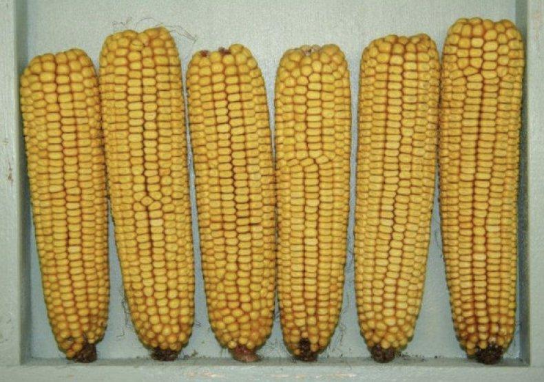 Зубовидная кукуруза