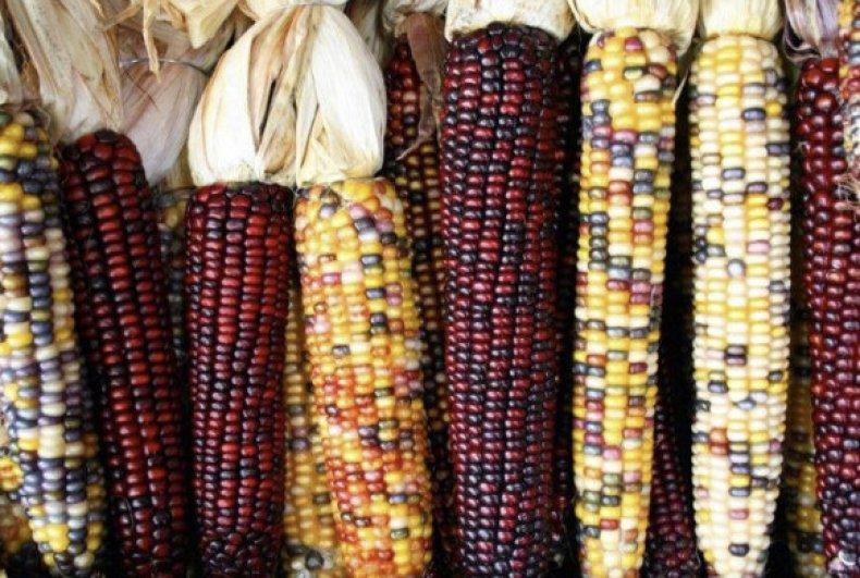 Кремнистая кукуруза