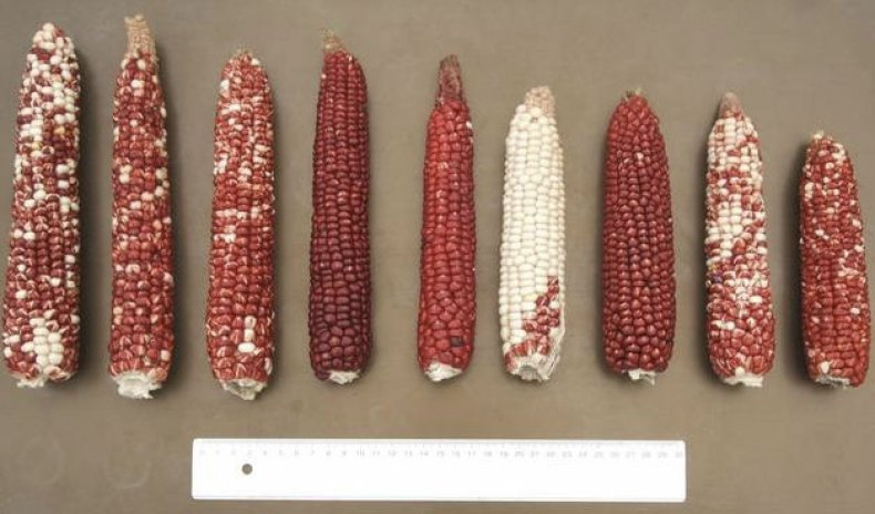 Крахмалистая кукуруза