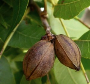 Орех пекан — выращивание в домашних условиях