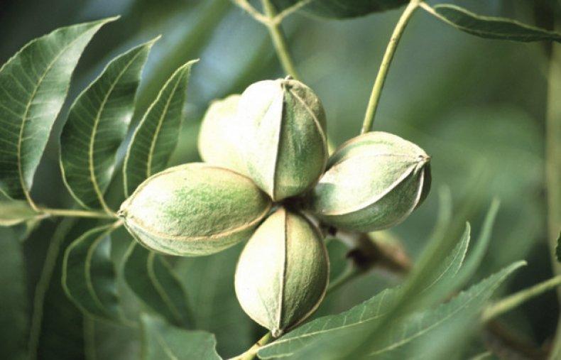 Выращивание ореха пекана