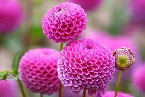 Особенности посадки однолетних георгин, выращивание и уход за цветами в вашем саду