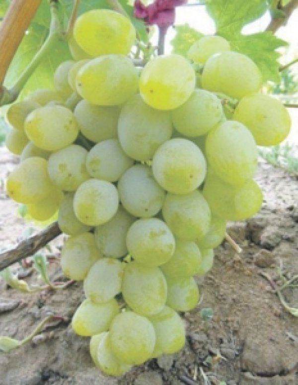 Обрезка винограда летом  ogorod23ru