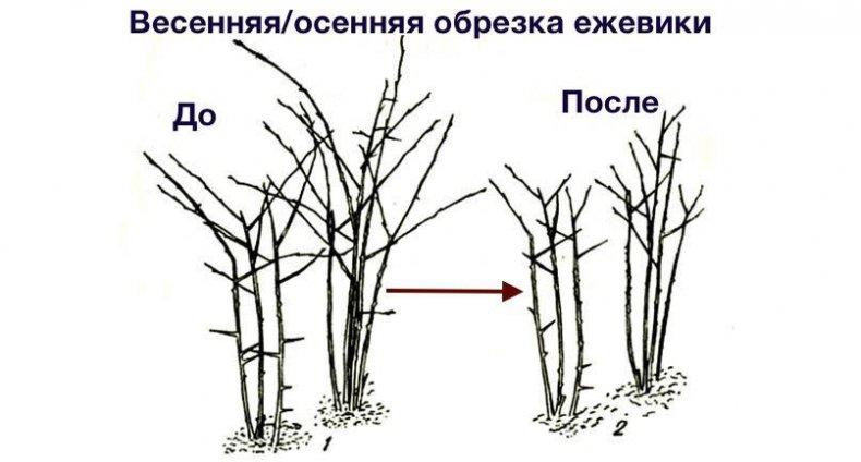 Ежевика посадка и уход в открытом грунте в сибири