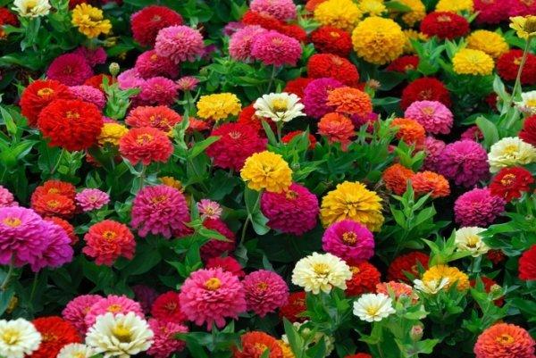 цветы георгины веселые ребята фото