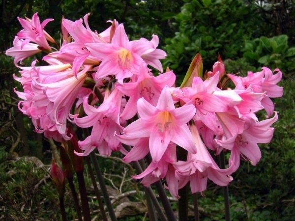 Особенности ухода за цветком Амариллис
