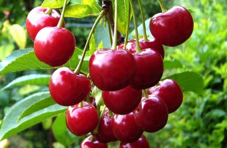 Сорт вишни «Встреча»