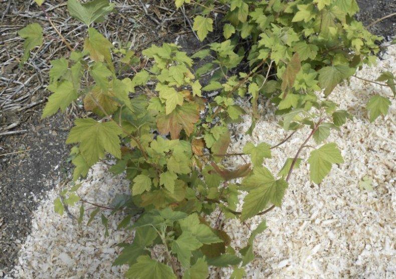 смородина, уход, осень, подготовка, зима, грибкового характера