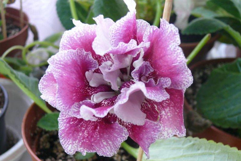 цветок, синнингия, уход, растение, домашний, фото