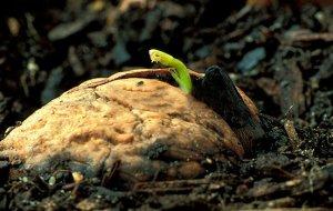 Выращивание ореха с плода