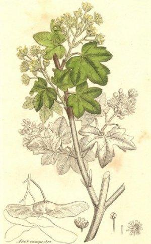 Клен полевой: описание, особенности выращивания