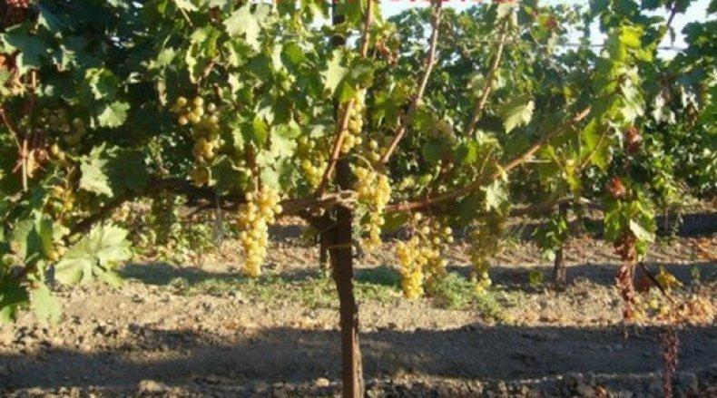 сорт, виноград, виорика, описание, фото, селекция