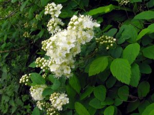 Спирея дубравколистная (Spiraea chamaedryfolia)