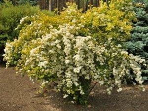 Спирея Вангутта (Spiraea x vanhouttei)