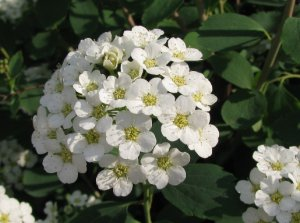 Спирея городчатая (Spiraea crenata)