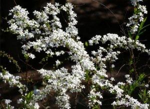 Спирея Тунберга (Spiraea thunbergii)
