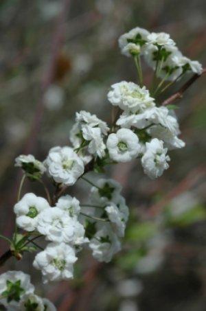 Спирея сливолистная (Spiraea prunifolia)