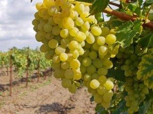 удобрение, виноград, осень, оказывает влияние, азот фосфор