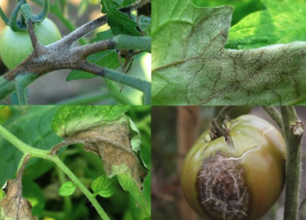 Бурая гниль томатов профилактика и лечение фитофтороза