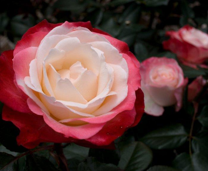 этот момент ностальжи роза чайно гибридная фото описание нужно всего лишь