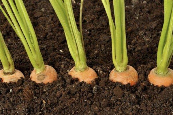 На каком расстоянии садить морковь