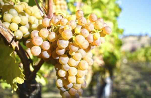 Как из белого винограда сделать сухое вино