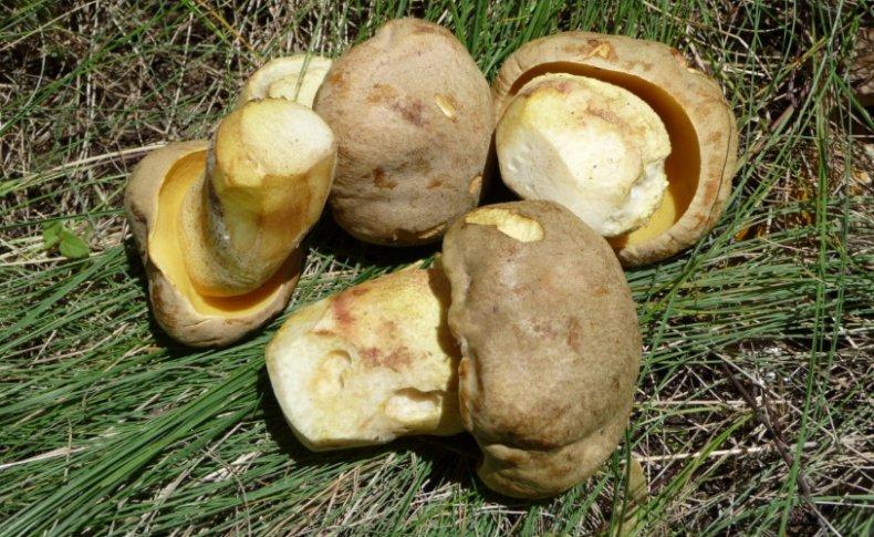 Полубелый гриб