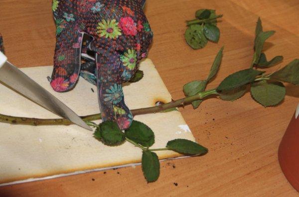 Как вырастить розы из подаренного букета