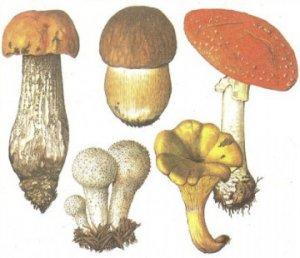 несъедобные крымские грибы
