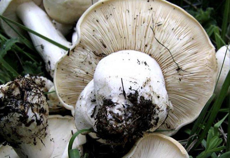 все грибы крыма каталог с фото