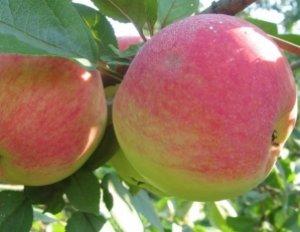 Яблоня конфетное описание фото отзывы посадка