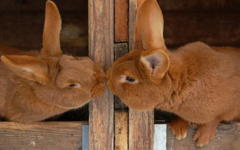 Кролики в период случки