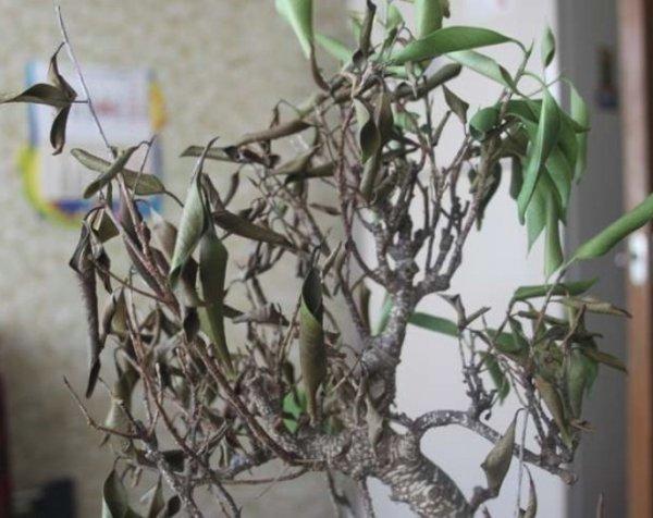 Почему фикус Бенджамина сбрасывает листья и как помочь растению