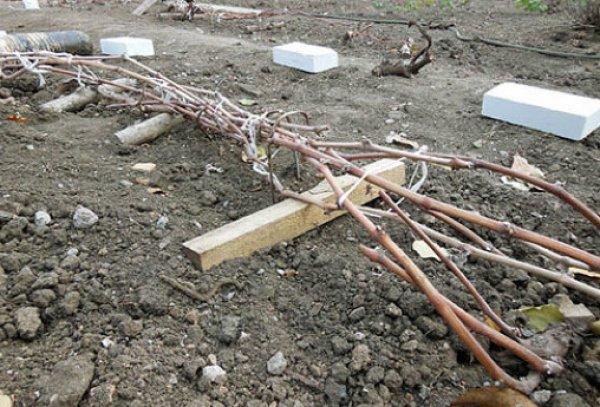 Подготовка винограда к зиме в подмосковье обрезка