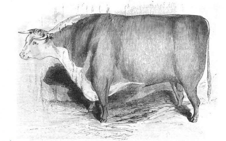 Херефордский бык, 1843