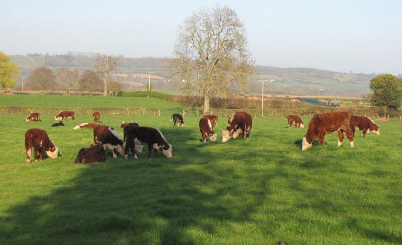 Коровы херефорд