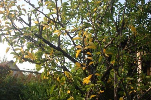 Причины покраснения сливовых листьев в летний период