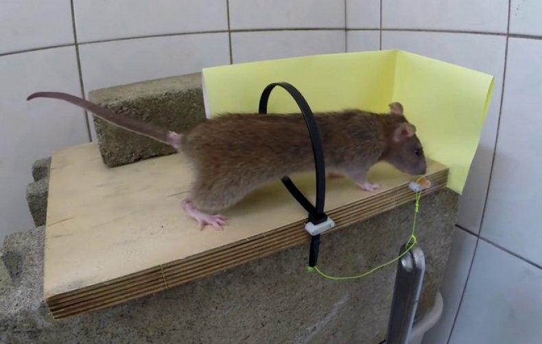 ловушки для крыс своими руками фото