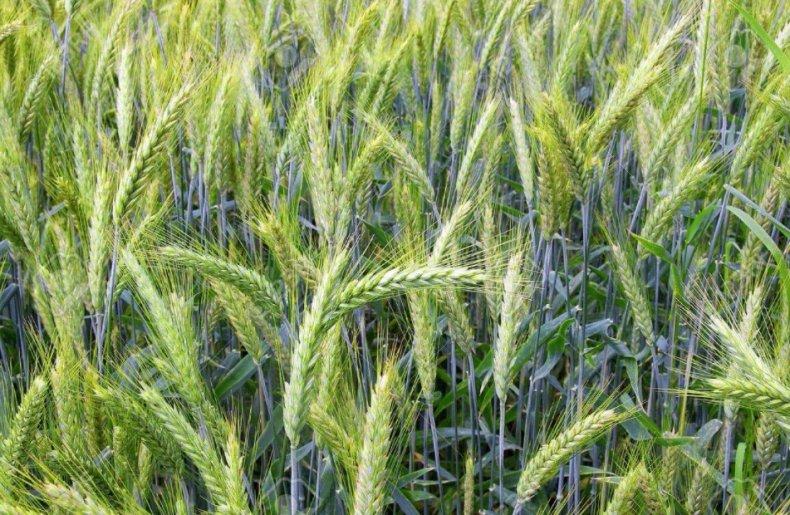 удобрение, зерновой, культура, внесение