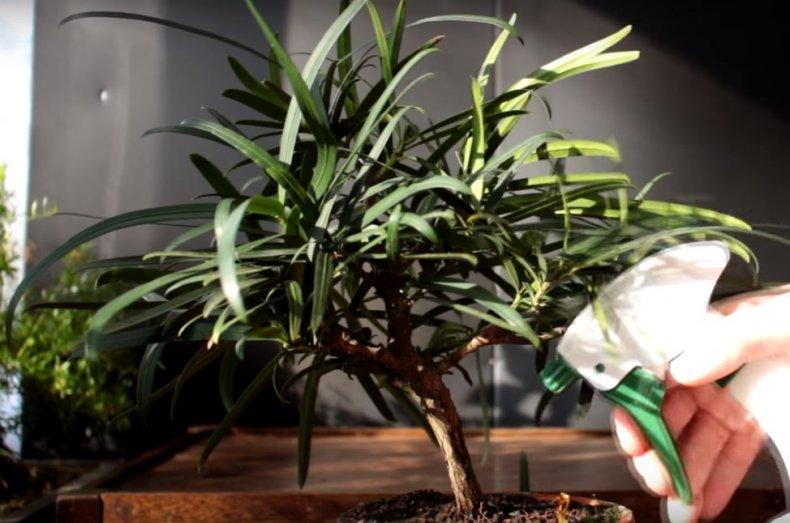 Бонсай подокарпус пересадка и стрижка, полив и уход за вечнозеленым хвойным растением в домашних