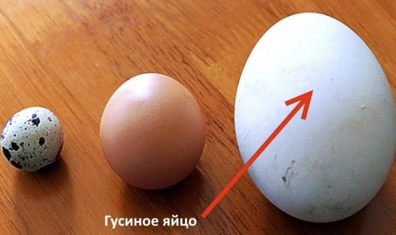 На фото: перепелиное, куриное и гусиное яйцо