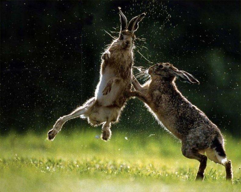 Брачные игры кроликов