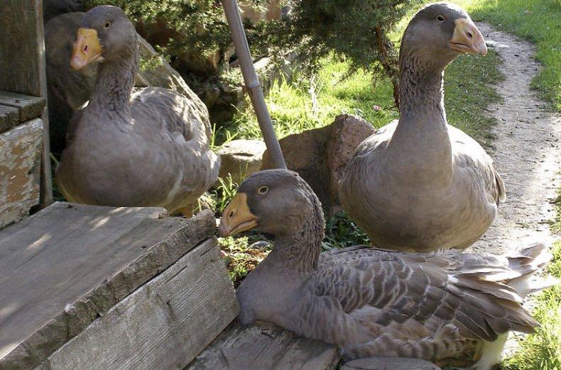 Тульская бойцовская порода гусей