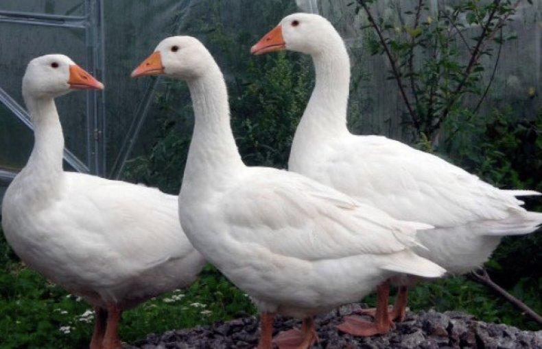 Рейнская порода гусей