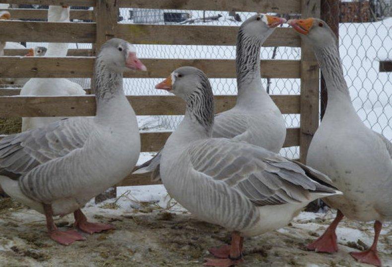 Оброшинская порода гусей