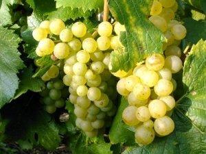 Один из лучших сортов для вина