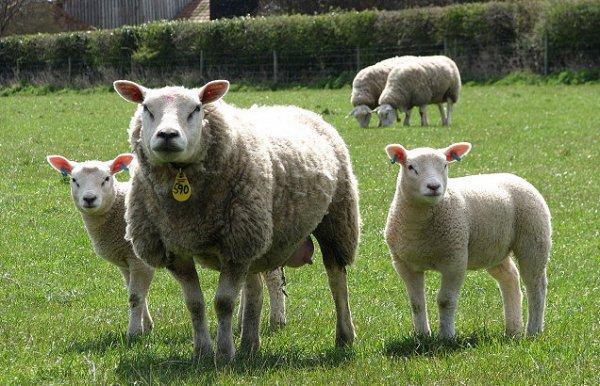 Овцы Тексель описание породы характеристики особенности