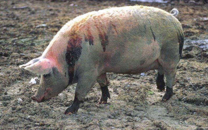 Болезни свиней симптомы и лечение, профилактика, фото